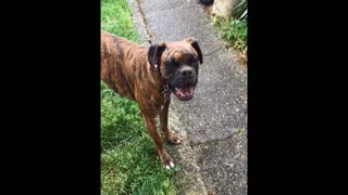 Boxer super excited about digging hole - Video