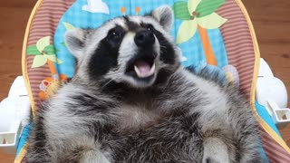 Raccoon lies in the baby bouncer and prepares to sleep by chewing milk-flavored gum.