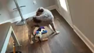 Aussie puppy figures out how to ring potty training bell