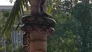Snake Coils its Way up a Tree - Video