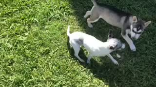Husky Mix puppy plays with ChiWeenie