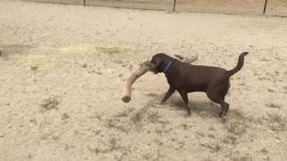 Dog Carries Hilariously Big Stick At A Dog Park