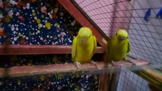 Budgies and their son screaming wants food to sleep