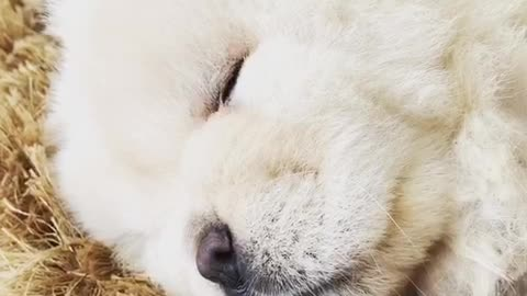 White fluffy dog snoring