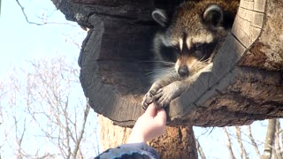 Small Raccoon Reaches Out To 'Steal' His Meal - Video