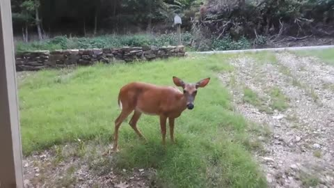 Woman wakes up to feed deer on front lawn