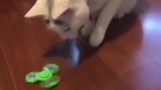 White cat playing with fidget spinnner - Video