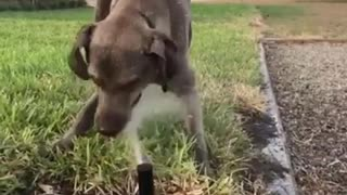 Collab copyright protection - dog plays with sprinkler - Video