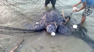 Sea Turtle is Rescued From Fishing Net - Video