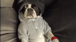 Dog in red mittens grey sweater black beanie laying  - Video