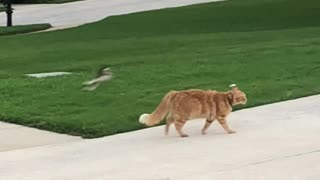 Resilient Cat Isn't Bothered By Pestering Birds