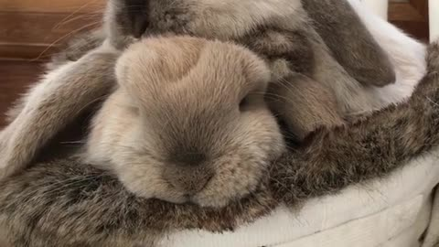 Cute bunny rabbits lovingly cuddle together