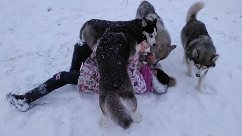 OMG !!! Huskies surrounded the girl, now they