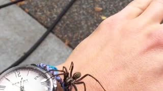 Black spider crawling around hand sperry watch - Video