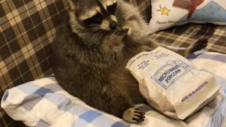 Raccoon Snacks and Watches Television