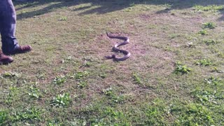 Brown Snake in Australia, how to handle - Video