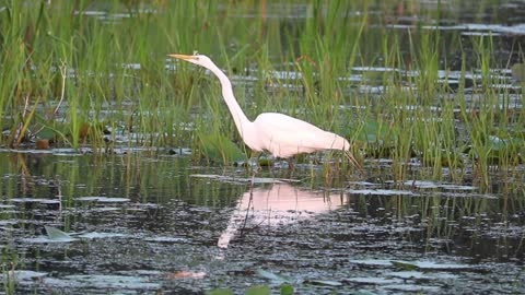 Egret walking so slow