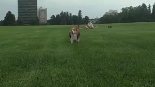 Run Corgi Run - Video