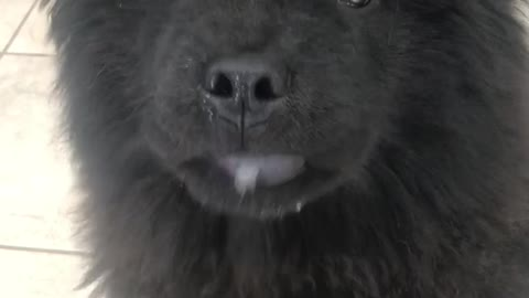 Black fluffy dog licks its lips a lot