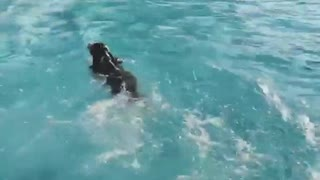 Brown dog running and jumping into pool - Video