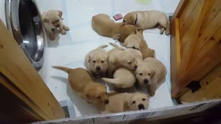 5 week old Labrador puppies attempt mass escape from cruel prison  - Video