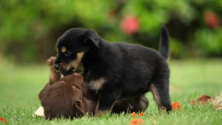 Playing two puppies