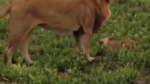 Small lion play with his father