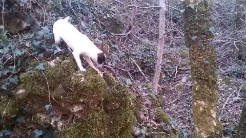 chihuahua dog puppies in the forest