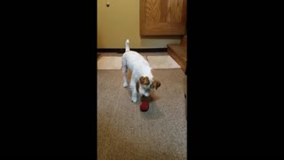Terrier that loves playing catch
