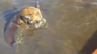 Brown dogs snorkel - Video