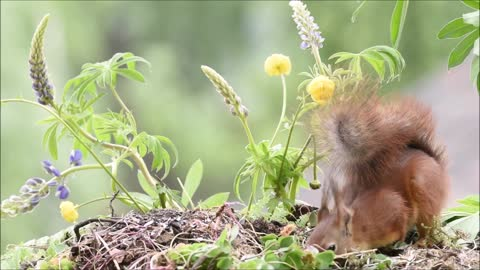 red squirrel flower movies