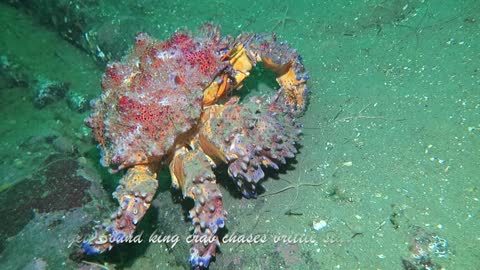 Diver records amazing chase on the ocean floor