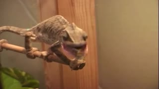 Chameleon double vision is a highly coordinated effort - Video