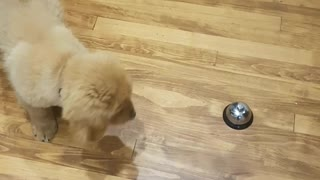Golden puppy plays with metal bell on wooden floor - Video