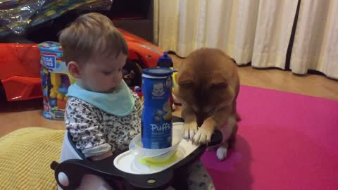 Shiba Inu respectfully bows for little boy's scraps