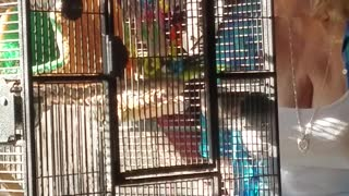 Quaker parrot goes crazy when grandma sings  - Video