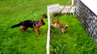 Shiba Inu teases German Shepherd from behind fence - Video