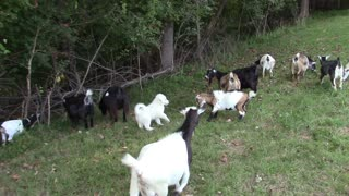 Puppy REALLY wants to play with the goats - Video