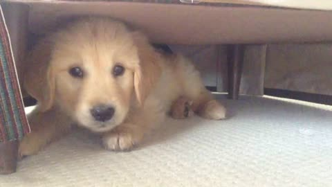 Golden Retriever puppy loves playing peek-a-boo