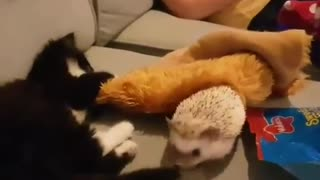 Kitten and hedgehog appear to get on surprisingly well