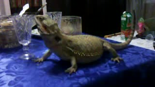 Lizard on a table