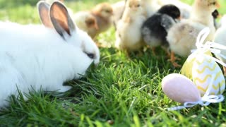 Adorable chicks with bunny in the farm
