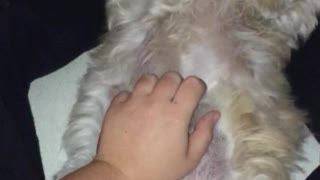 White dog getting belly rub and laying down  - Video