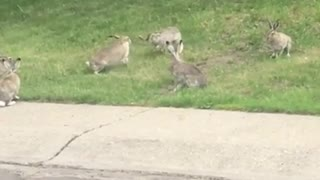 Bunny rabbit 'fight club' captured on neighbor's front lawn
