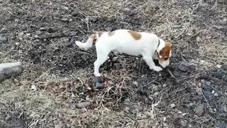The dog is played with a stick.