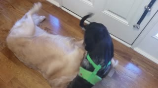 German Shepherd Puppy Annoying Big Tired English Cream Golden Retriever Dog  - Video
