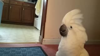 Cockatoo Thinks He's a Dog - Video