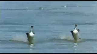 Crazy Couple Ducks Surfing At The Beach