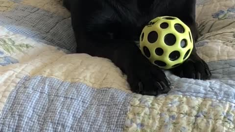 Dog Desperately Wants To Push Beloved Ball
