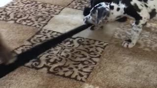Puppy tug of war  - Video